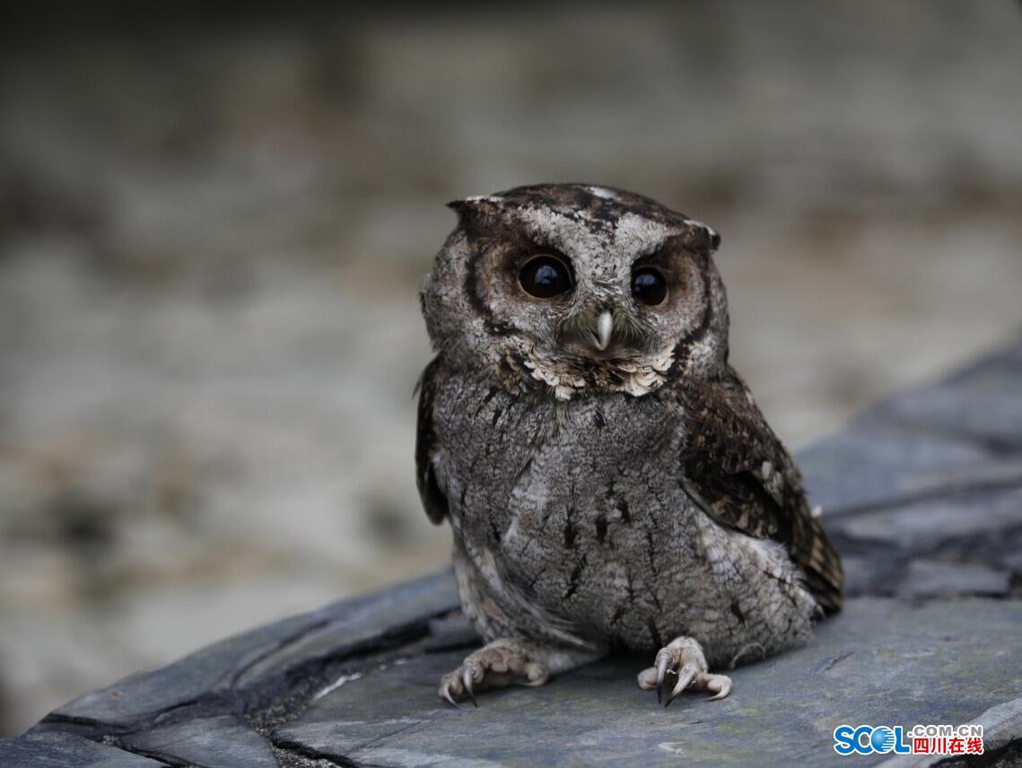 领角鸮_领角鸮是猫头鹰吗 领角鸮叫声_龙太子供应网