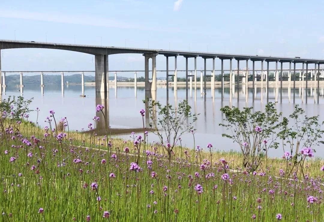 紫色浪漫!南充马鞭草怒放,赶紧来这里探寻江边的普罗旺斯!